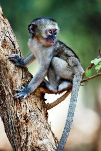 Baby Green Vervet Monkey www.njcharters.com