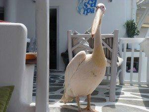 Mykonos Petros the Pelican www.njcharters.com