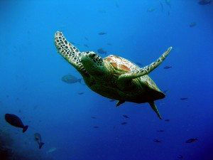 Green turtle on Great Barrier Reef