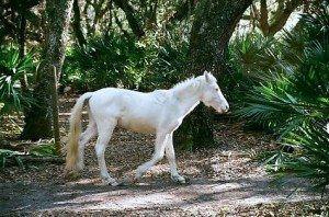 Cumberland Island Wild Horses www.njcharters.com