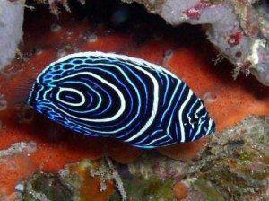 Andaman Sea Juvenile Fish www.njcharters.com