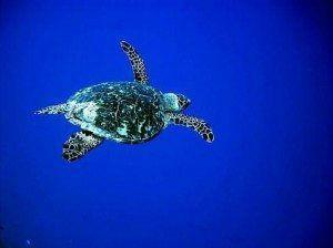 Sea Turtle Belize Scuba www.njcharters.com